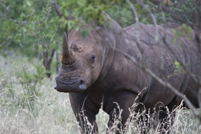 <p>A white rhino at the Kruger National Park, South Africa, which has been badly hit by rhinoceros poaching. Some of the park's 400 rangers have gone on strike, sparking concern about protection of the rhinos and other animals.</p>