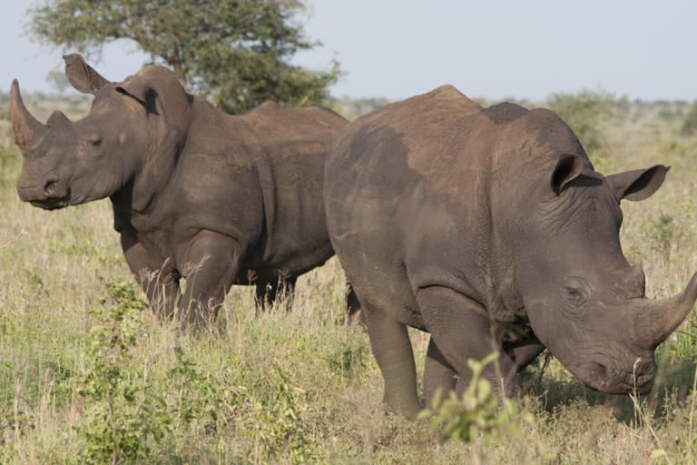 <p>White rhinos at the Kruger National Park, South Africa. There has been a massive surge in the number of rhinos being killed by poachers in South Africa, blamed on crime syndicates that sell the horns to buyers in Vietnam and China.</p>