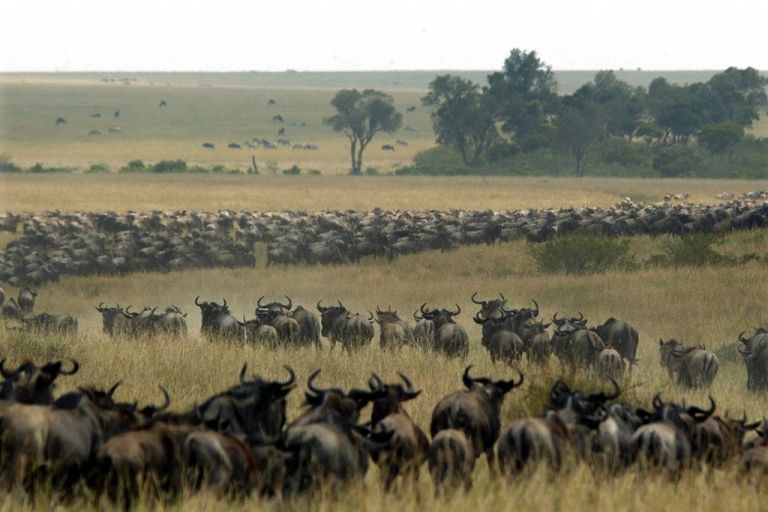 <p>Thousands of wildebeest wind through the Masai Mara National Reserve in Kenya, Aug. 3, 2002. More than a million wildebeest annually cross the border between Tanzania and Kenya. (Pedro Ugarte/Getty Images)</p>