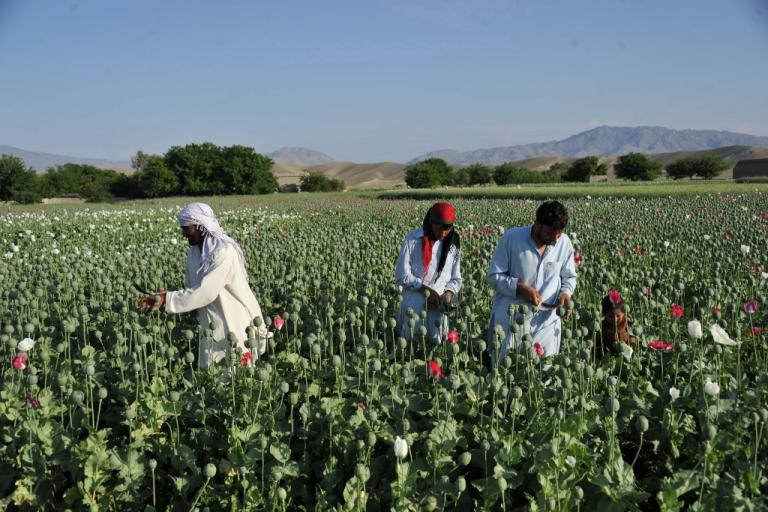 <p>Afghan farmers work in their poppy field in Khogyani District of Nangarhar province on April 29, 2013.</p>