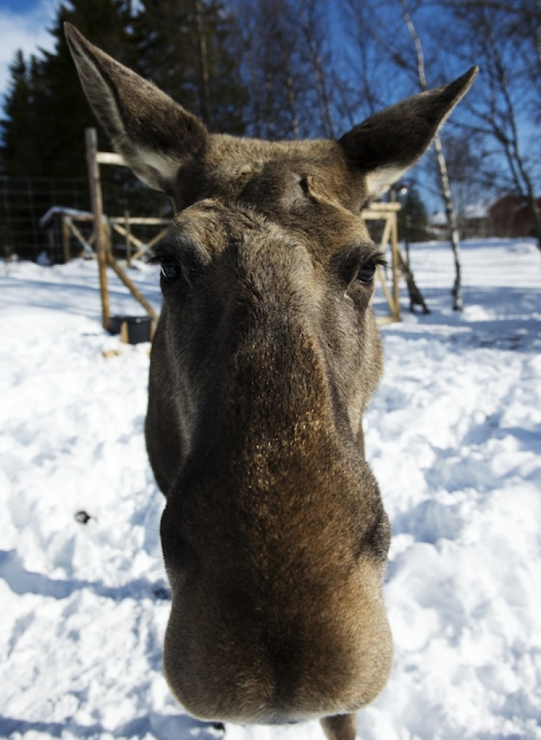 <p>This photo taken on March 17 shows a moose calf standing in the snow on a farm in Duved, Sweden.</p>