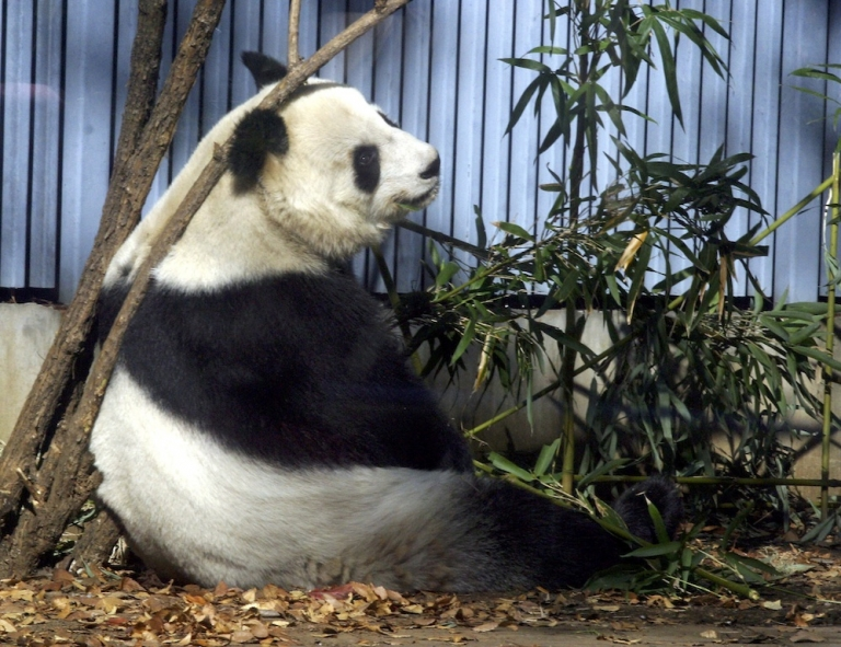 <p>Shuan Shuan, one of the two surviving giant pandas in Mexico, eats bamboo during a visit to Ueno Zoo in Tokyo on December 10, 2003.</p>