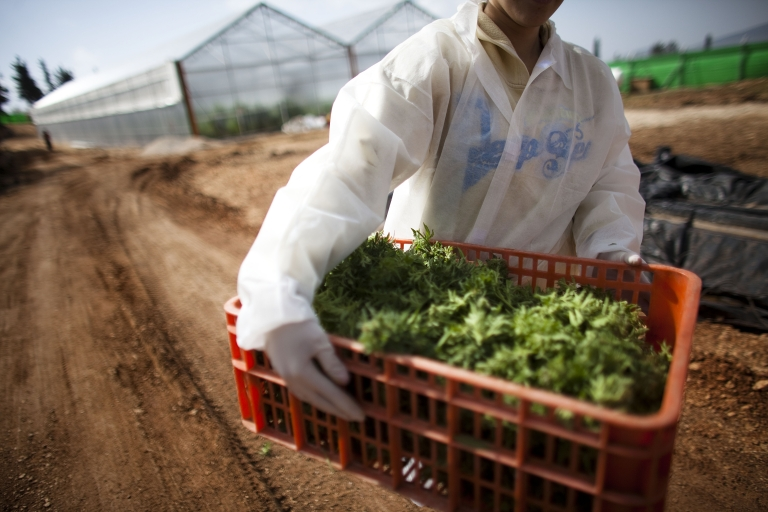 <p>A worker carries medical marijuana at the growing facility of the Tikun Olam company on March 9, 2011 near Safed, Israel. The country has long  been a pioneer of cannabis research.</p>