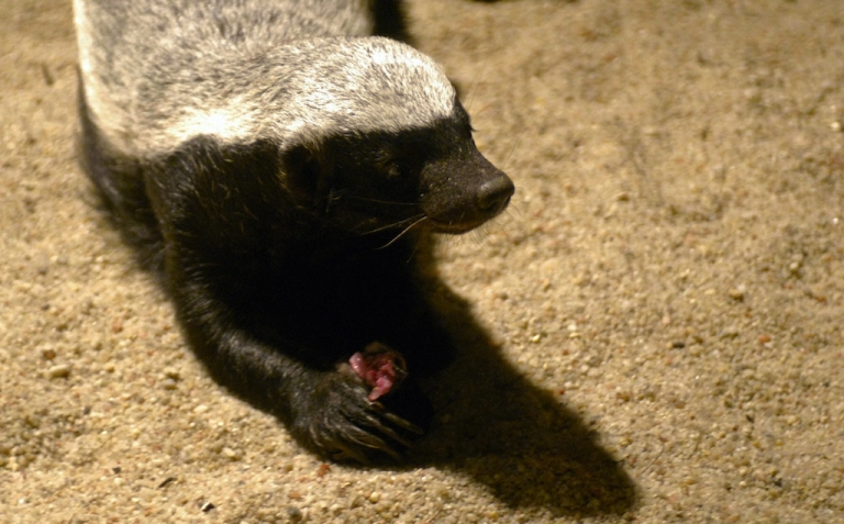 <p>Badgers. The new archaeologists?</p>