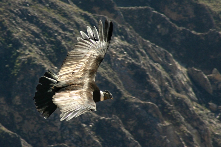 <p>A condor (Vultur gryphus) flying over the Colco canyon in Peru.</p>