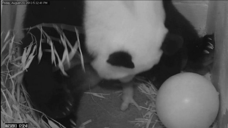 <p>This image from the Smithsonian National Zoological Park shows Giant Panda Mei Xiang giving birth to her newborn cub on August 23, 2013. A second cub was stillborn on Saturday.</p>