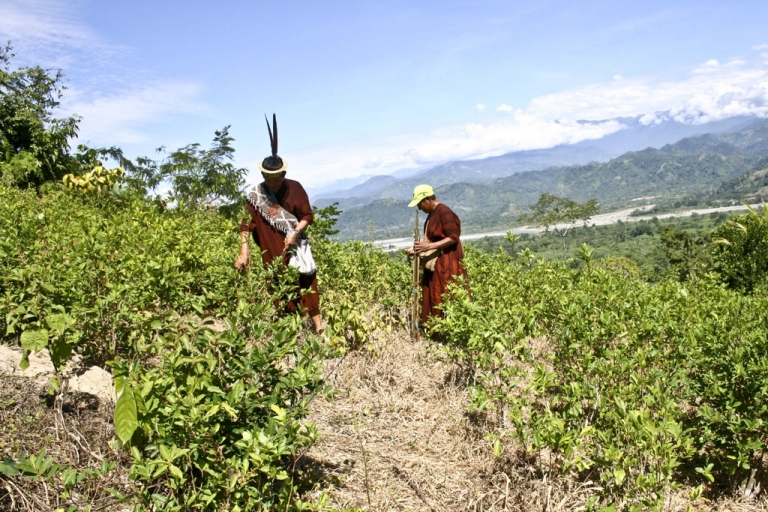 <p>Members of the Ashaninka ethnic group harvest coca leaves to be sold to the highest bidder, in Pichari Peru.</p>