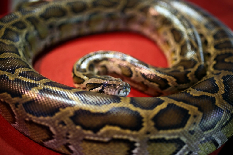 <p>A python sits on display to celebrate Chinese New Year at the National Zoo in Kuala Lumpur on February 10, 2013.</p>