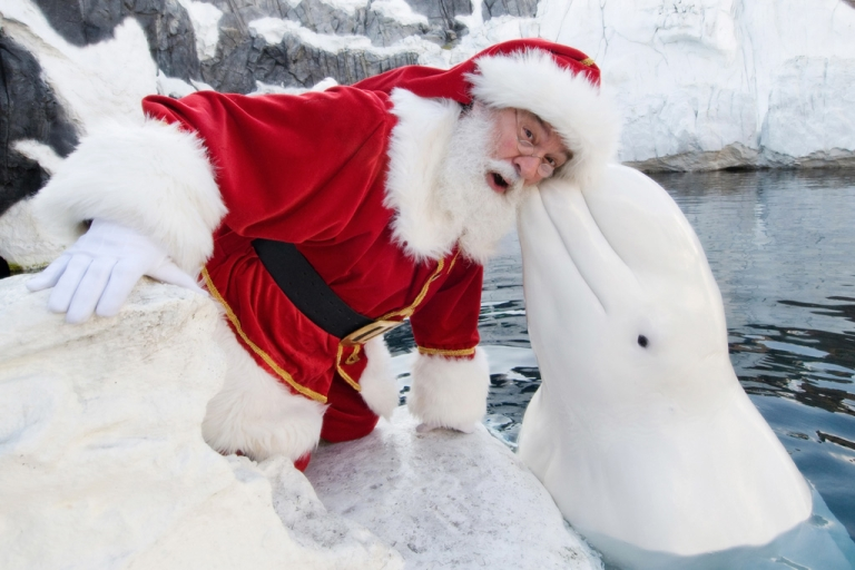 <p>In this handout photo provided by SeaWorld San Diego, Santa Claus poses with a beluga whale on December 15, 2011 in California.</p>
