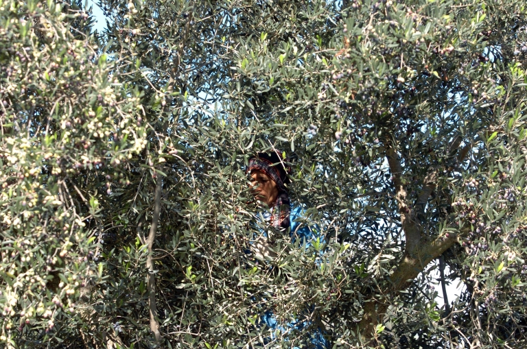 <p>A tree under which Plato taught his pupils was uprooted recently near Athens and likely burned for firewood.</p>