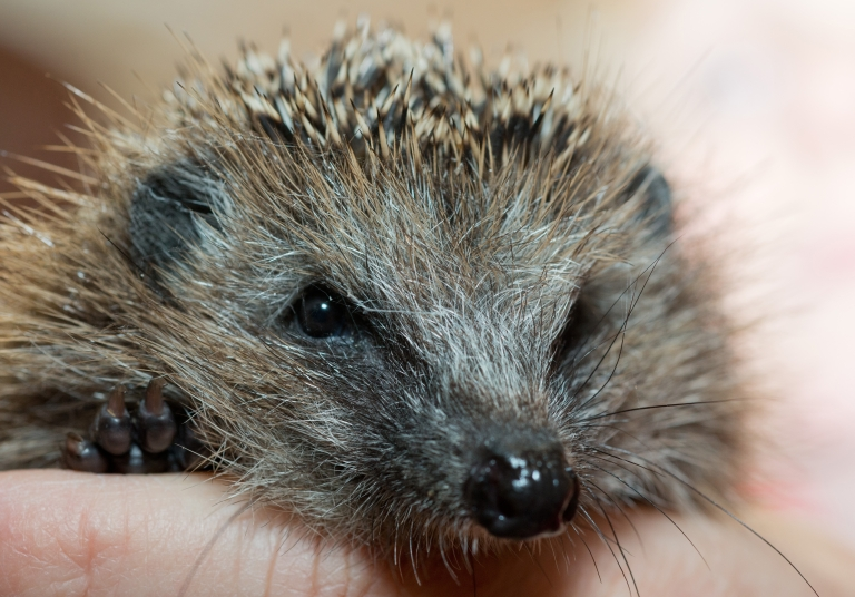 <p>Cuddly hedgehogs are wreaking havoc by spreading salmonella. Twenty people have fallen ill from handling them in the last year.</p>