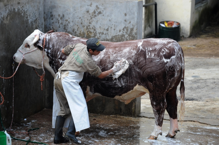 <p>A man washes a Hereford bull during the 104th International Cattle Exposition and Agrarian-Industrial Show in Montevideo, September 17, 2009.</p>