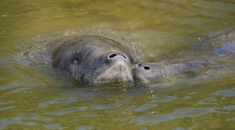 <p>A Florida man has been arrested for 'molesting' an endangered manatee. He was found out after posting pictures of himself hugging the sea cow on Facebook.</p>