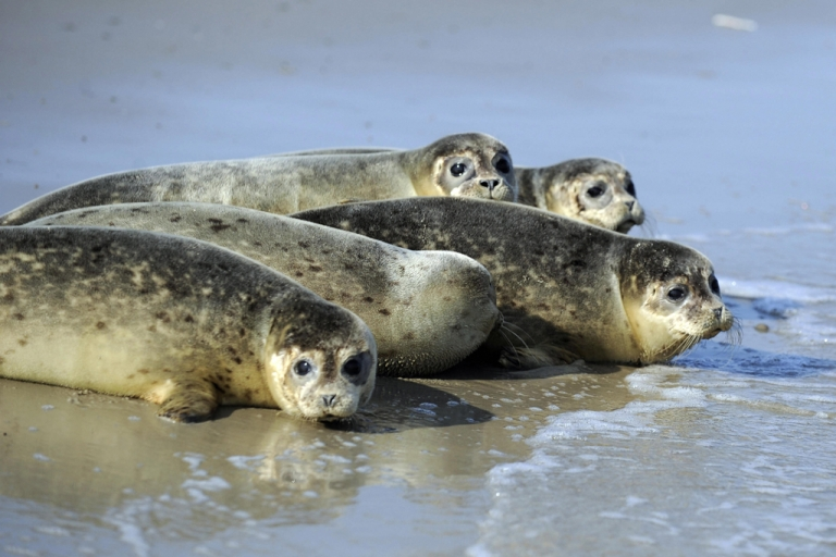 <p>Baby seals are pictured in the water of the North Sea after they have been turned to the wild by employees of the seal-breeding station of Norddeich,  at the North Sea island of Juist.</p>