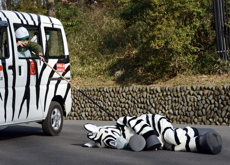<p>A zookeeper checks a zebra-dressed man after being 'tranquilized' during a drill to practice what to do in the event of an animal escape at the Tama zoo in western suburb of Tokyo on February 1, 2013. About 60 zookeepers participated in the annual drill. AFP PHOTO/TOSHIFUMI KITAMURA</p>