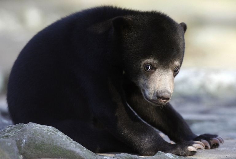 <p>A female sun bear has died after eating a banana laced with a white powder at the Malacca Zoo. A 17-year-old male racehorse was also found dead Monday of suspected poisoning. Visitors have been allowed to bring in food for the animals but the zoo has now changed the policy.</p>