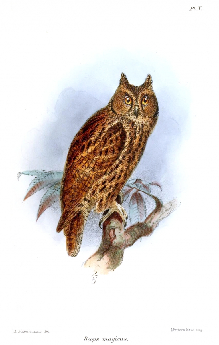 <p>The Moluccan Scopes Owl looks very similar to the newly discovered Rinjani scops owl of Indonesia, identified recently by researchers as a distinctive species.</p>