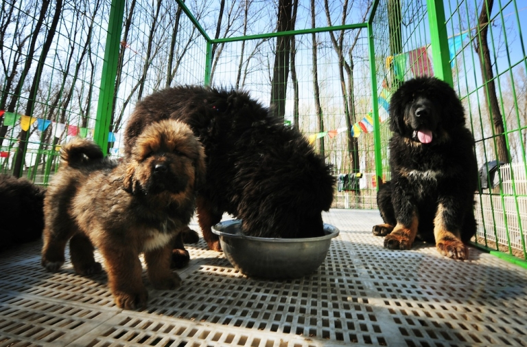 <p>This photo taken on April 6, 2012 shows pedigree Tibetan mastiff dogs on display at a dog show in the town of Daxing near Beijing. The animals which have now become the world's most expensive are much prized in China where owning one is seen as a status symbol and a coal baron in northern China recently purchased one for ten million yuan (about 1,500,000 USD).</p>
