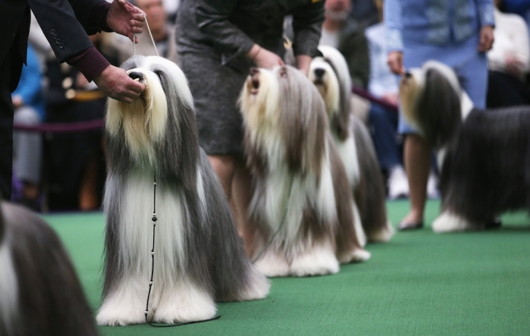 <p>Bearded collies compete in the 137th Westminster Kennel Club Dog Show on February 11, 2013 in New York City. A total of 2,721 dogs from 187 breeds and varieties are to compete in the event, hailed by organizers as the second oldest sporting competition in America, after the Kentucky Derby.</p>