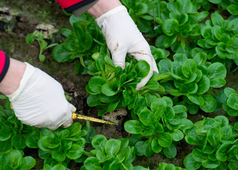<p>A new CDC report said that leafy greens are the leading cause of food-borne illness with poultry the leading cause of food-related death.</p>