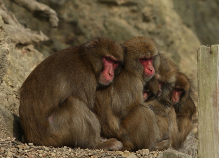 <p>Monkeys, like humans, tend to modify their movements to act in unison with those around them say researchers.</p>