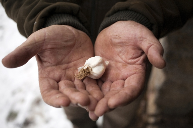 <p>English garlic lovers today announced the world's first-ever garlic eating contest, to be held September 14 in the town of Dorset. Here, a Serbian villager holds a garlic clove on in the western Serbian village of Zarozje in December 2012.</p>