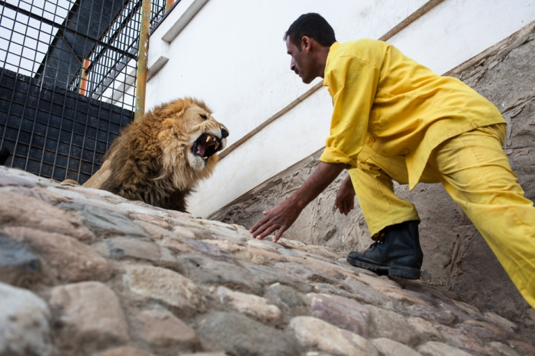 <p>A lion keeper at the Sana'a Zoo in Yemen's capital approaches one of the facility's 20 lions. Underpaid, one of the lion keepers is said to accept bribes to allow visitors to enter the cage.</p>