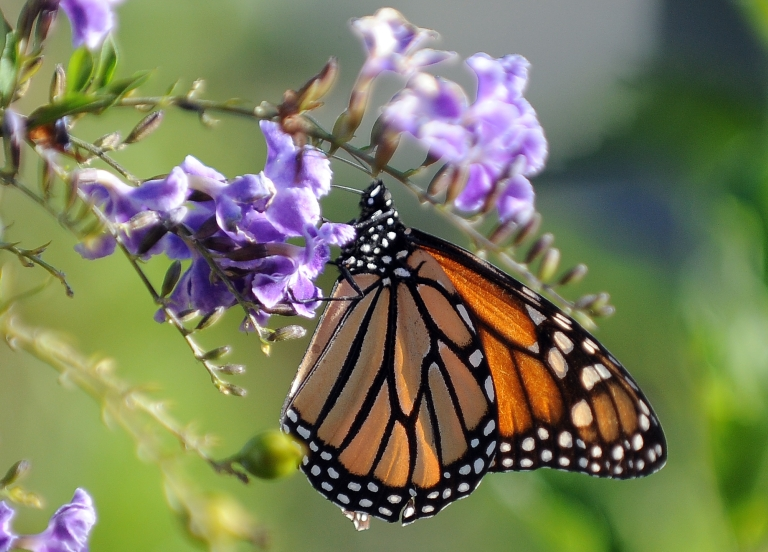 <p>The monarch butterly population migrating to Mexico this year has been reduced to its lowest level ever recorded. The decline is likely due to global warming, habitat loss and the use of pesticides.</p>