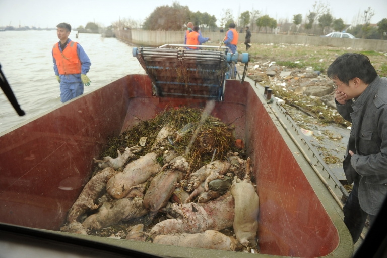 <p>Dead pigs are collected by sanitation workers from Shanghai's main waterway on March 11, 2013.</p>