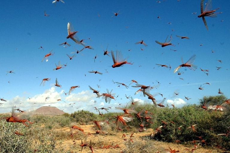 <p>Swarms of locusts in the Canaries.</p>