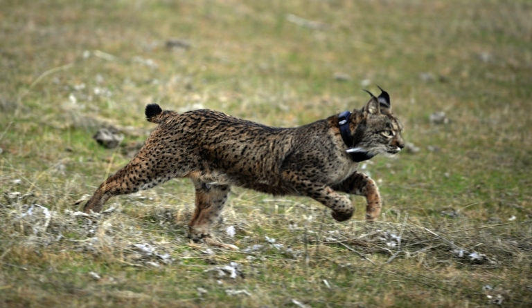 <p>Conservationists have preserved the embryos of two Iberian lynx females in hopes of implanting them into a surrogate mother. There are barely 150 of the critically endangered cats left.</p>