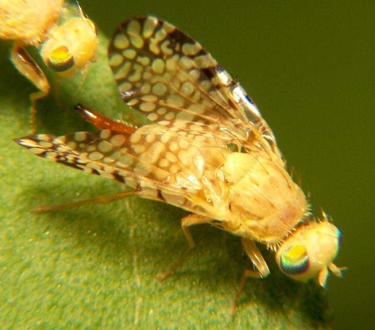<p>Fruit flies benefit from organic food and live longer than those who consume conventional produce.</p>
