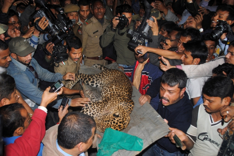 <p>A tranquilized leopard is carried off by park officials after the feline attacked people in Guwahati, India, on Jan. 7, 2012.</p>