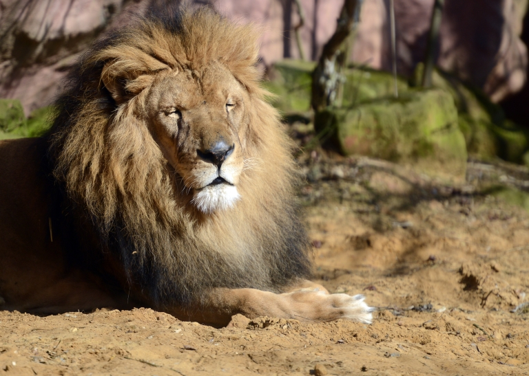 <p>Rangers launched a hunt for the lion following the tragedy, amid concern the same animal may have killed a local man who disappeared at the weekend.</p>