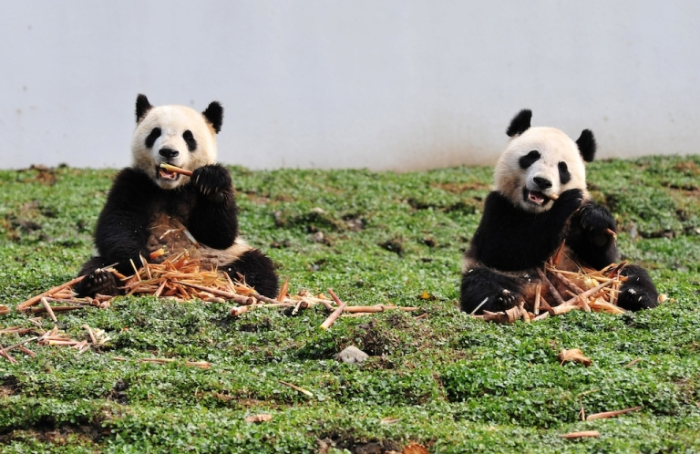 <p>Pandas are notoriously poor breeders. The same cannot be said about their eating habits.</p>