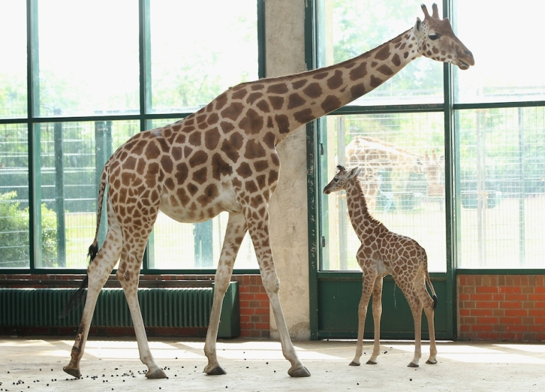 <p>Rothschild giraffes are listed as an endangered subspecies. Estimates say there are only 670 left in the wild.</p>