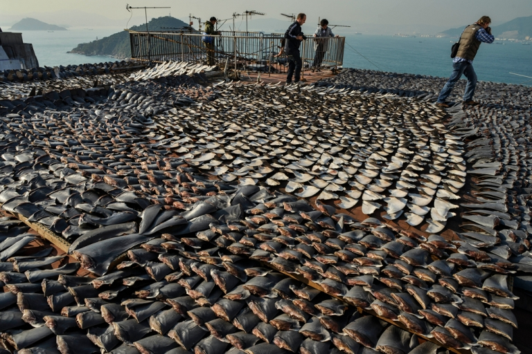 <p>Shark fins drying in the sun cover the roof of a factory building in Hong Kong on Jan. 2, 2013.</p>