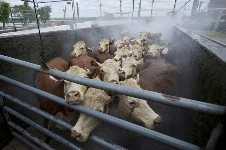 <p>Cows are washed before entering the slaughterhouse of the Frigorifico in Canelones, Uruguay. Synthetic meat would sidestep many of the environmentally taxing processes behind factory farming, which generates huge amounts of greenhouse gases and waste.</p>