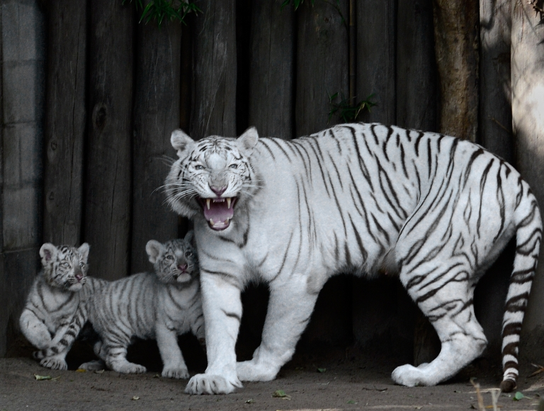 <p>Cleo, a female Bengal white tiger, protects two of her four cubs -- born in captivity on January 14, 2013 -- during their presentation at the Buenos Aires zoo on March 21, 2013. Chinese scientists have discovered how the white tiger becomes white.</p>