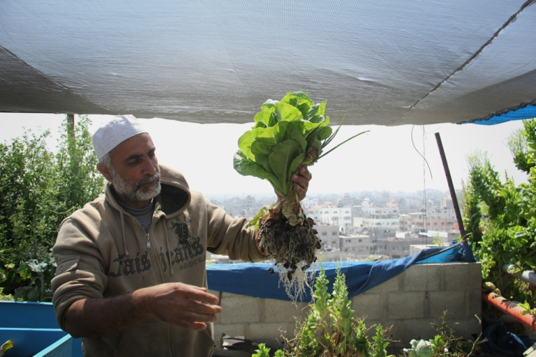 <p>Abu Ahmed pulls lettuce from his rooftop aquaponic farm in the Daraj area of Gaza City. He uses this small, urban space to grow tomatoes, parsley, red cabbage and onions, all of which feed his family. He belongs to a long generation of farmers who tilled the land in a village now located in present-day Israel.</p>
