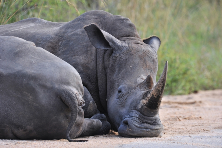 <p>Rhinoceros resting in the Kruger National Park near Nelspruit, South Africa.</p>