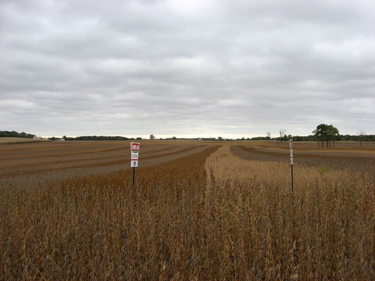 <p>Soybean field in Hale Township, Hardin County, Ohio, United States, located on the southern side of County Road 200 west of its intersection with Township Road 179. This field consists of multiple soybean test plots (Croplan Genetics); strips of different colors are different varieties of soybeans.</p>