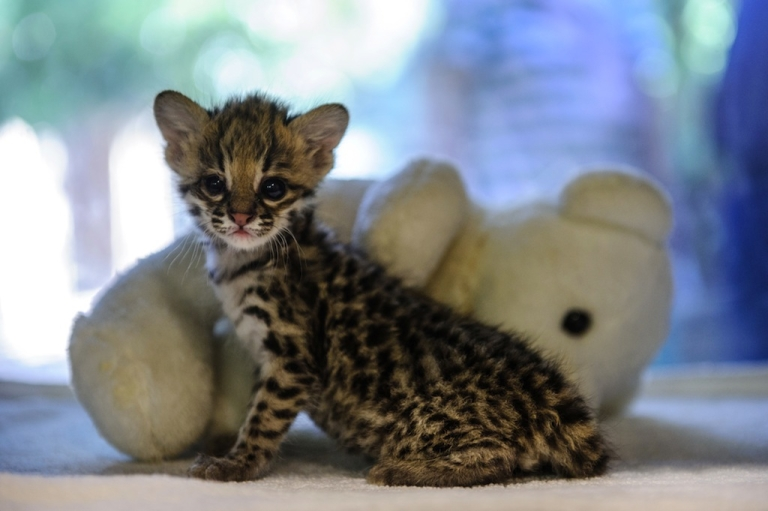 <p>Scientists in Brazil discover a new species of wildcat after looking into the evolutionary histories of three other similar species.</p>