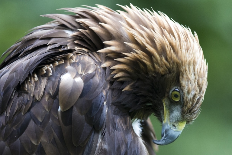 <p>An Israeli eagle was captured by Hezbollah which claims that it was a spy.</p>