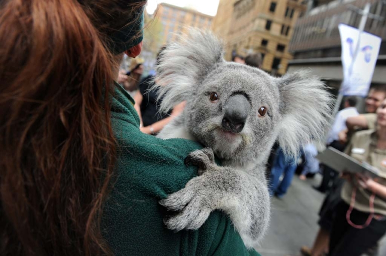 <p>A koala at Martin Place public square in Sydney, Australia, Sept. 7, 2012.</p>