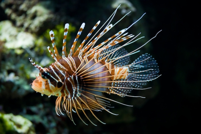 <p>Lionfish is great in ceviche or on the barbecue.</p>