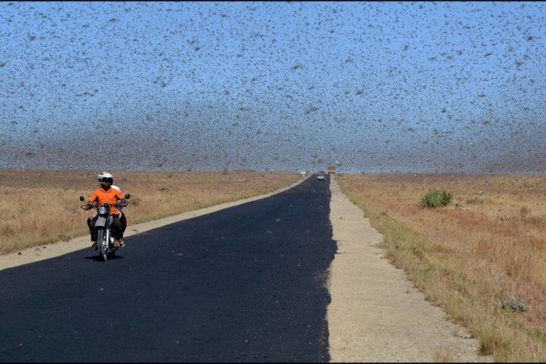 <p>Red locusts swarm 20 kilometers north of Sakaraha, a town in southwest Madagascar, on April 27, 2013. According to studies, there were around 500 billion locusts in the country at the time, eating around 100,000 metric tons of vegetation per day.</p>