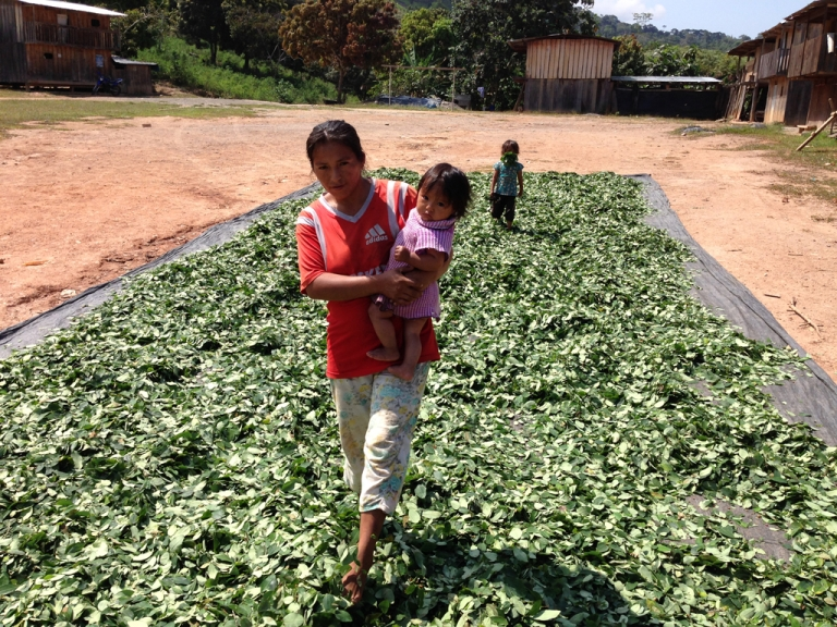 <p>A mother strides through the coca crop to turn it over and ensure it dries evenly.</p>