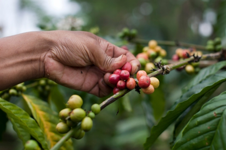 <p>Robusta coffee beans, shown here growing in Indonesia, are a potential new export for South Sudan.</p>