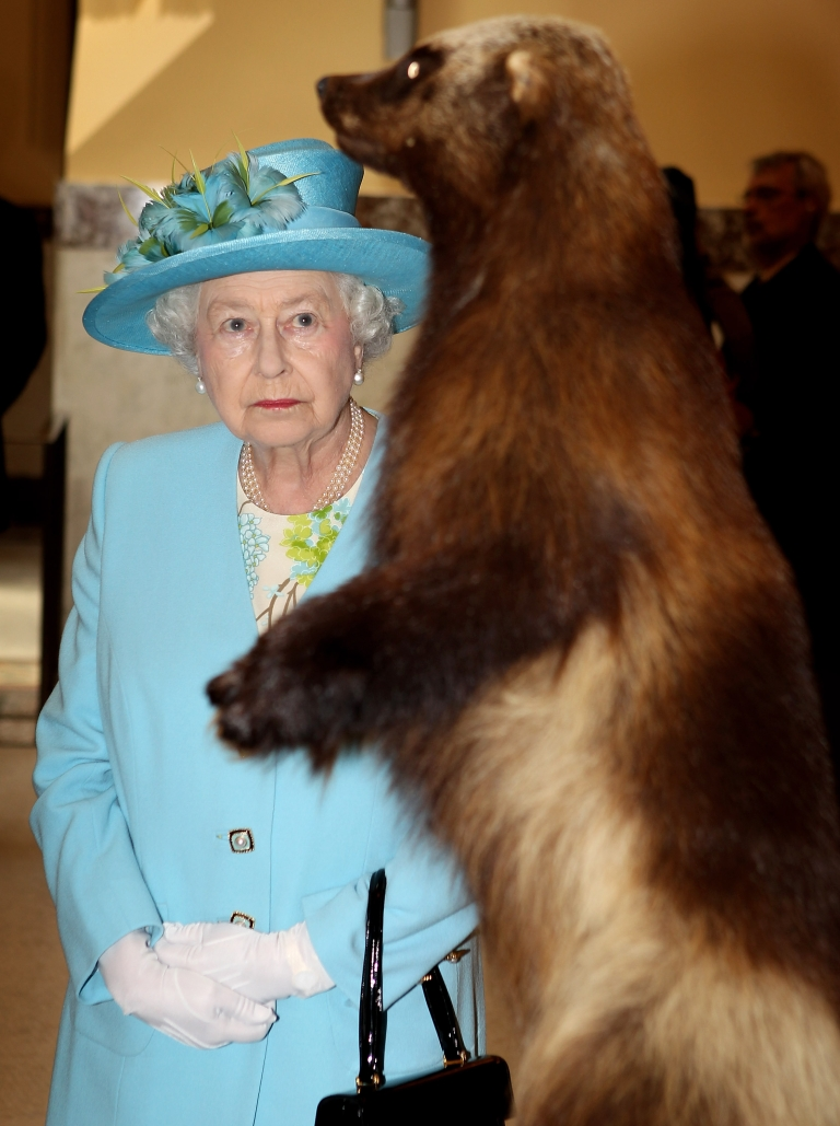 <p>Britain's Queen Elizabeth II looks at a statue of a wolverine. In Canada. But she might see one soon back in the United Kingdom, according to a new wildlife study that says rare animal species are making a comeback in Europe.</p>